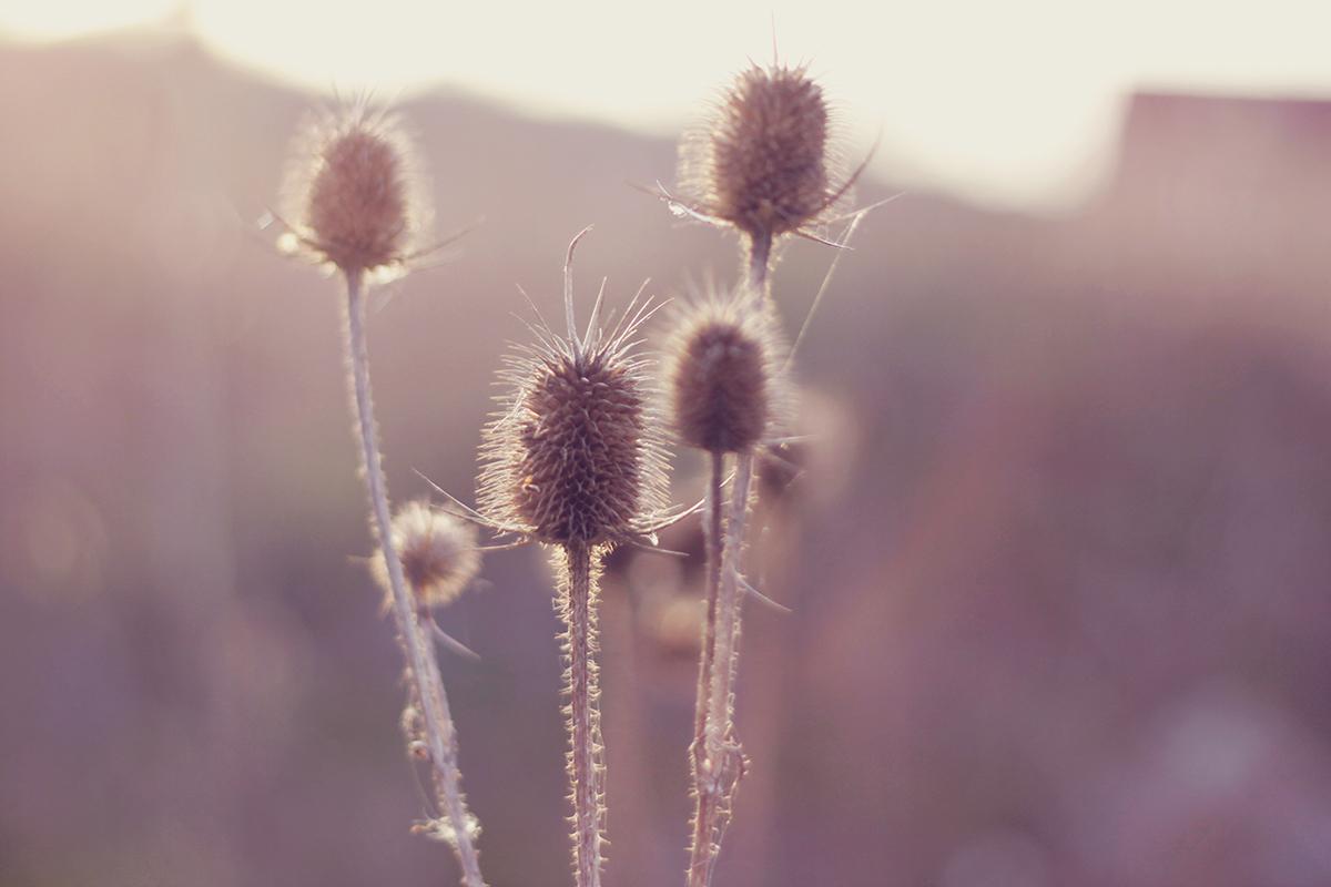 thorn plants