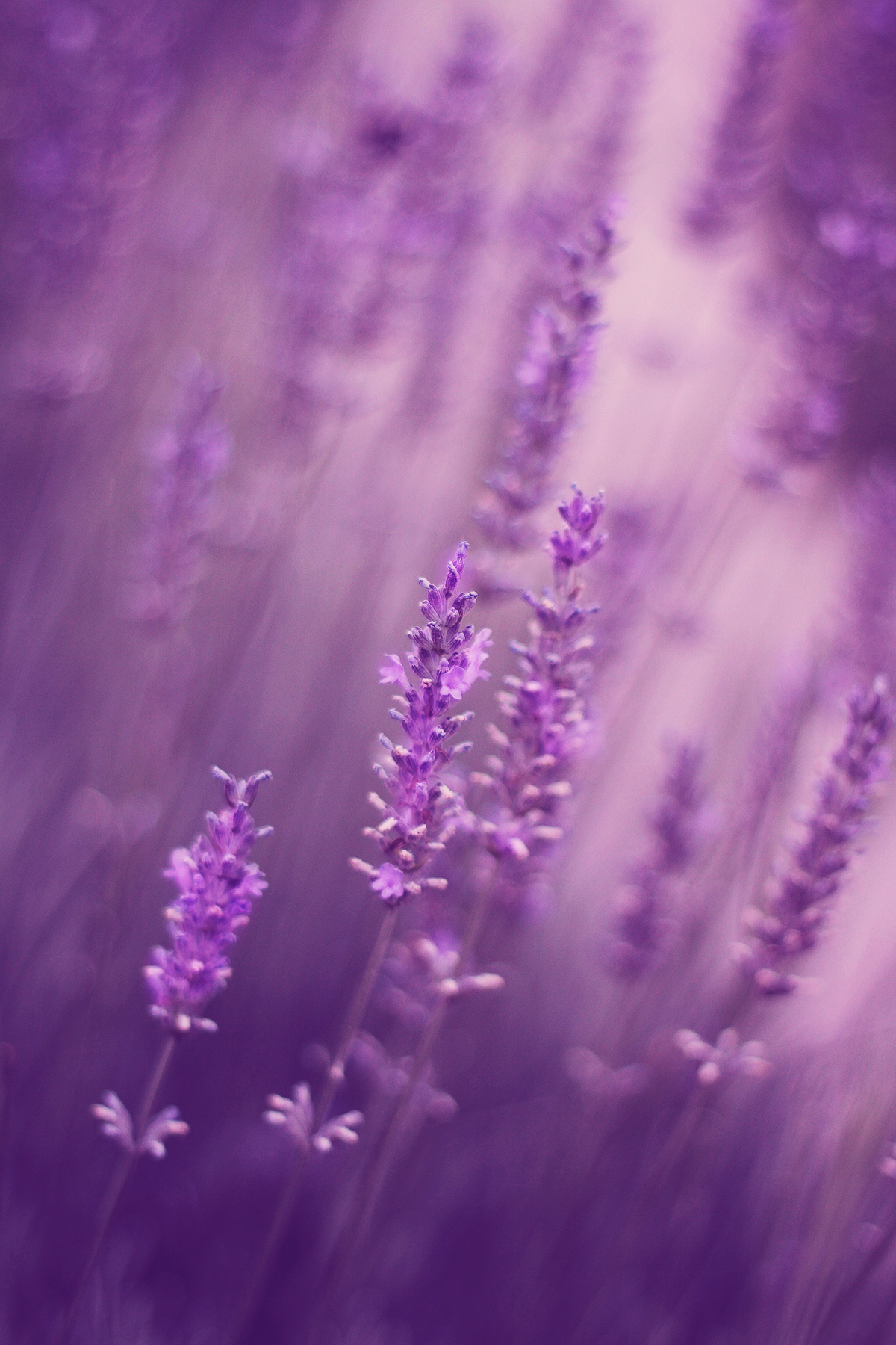 lavender close-up