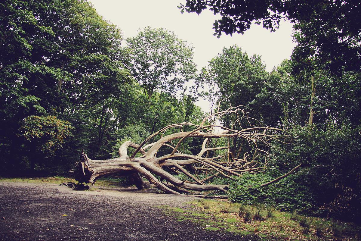 london-fallen-old-tree-in-hampstead-heath