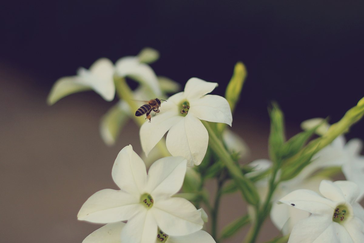 white flowers and bee