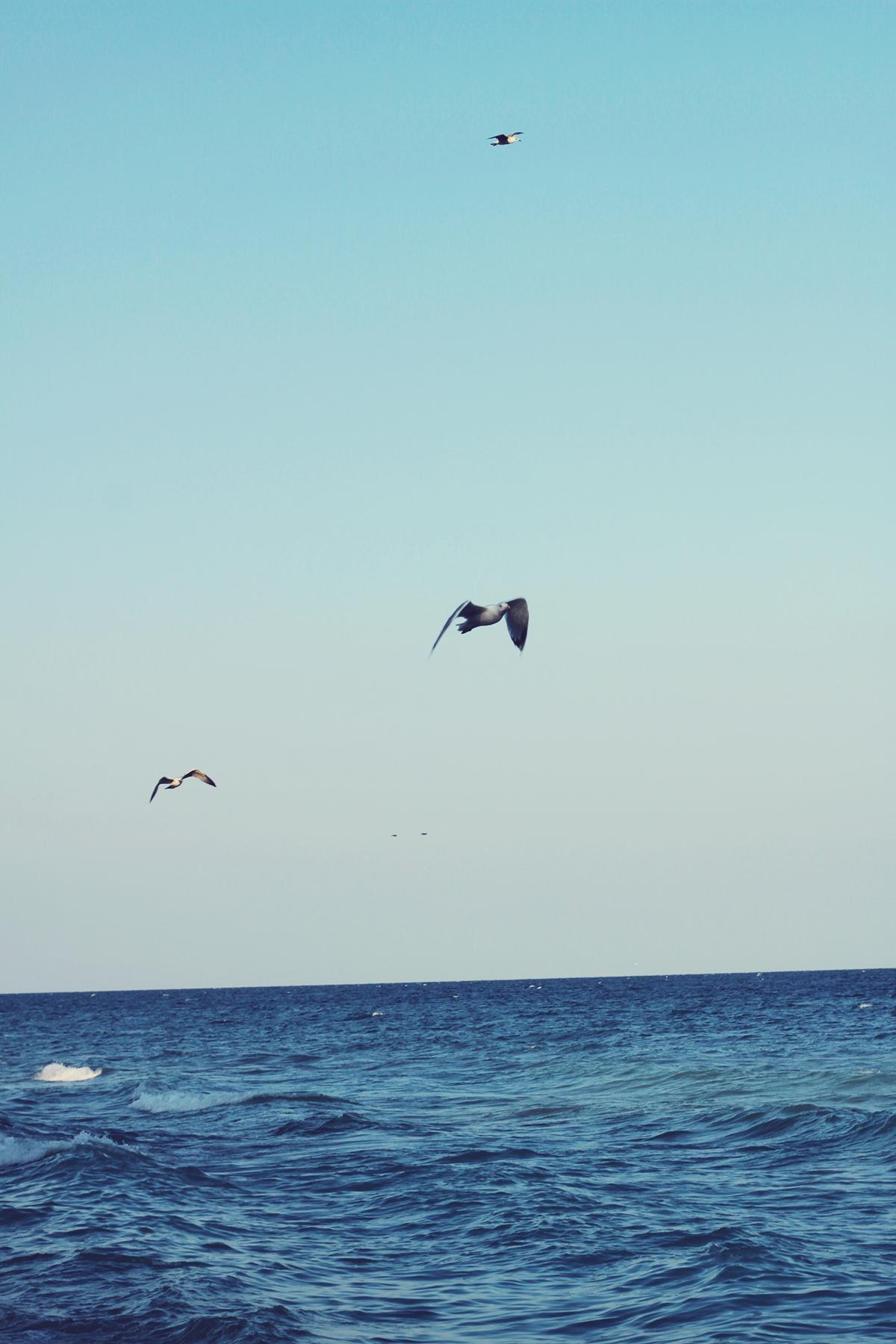 seagulls, vama veche